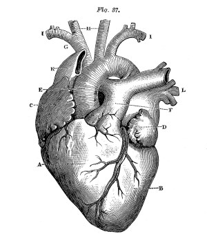 Royalty Free Images  Anatomical Heart  Vintage  The