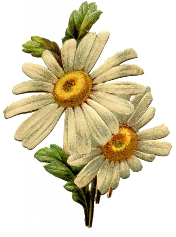 Vintage Daisy Image - The Graphics Fairy