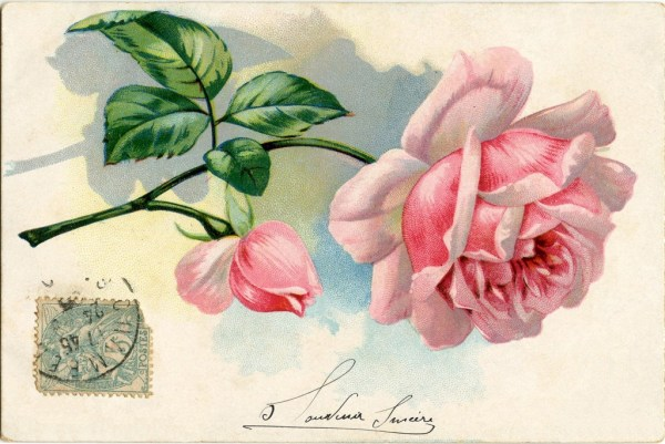 Free Vintage Images - Lovely Pink Rose - The Graphics Fairy