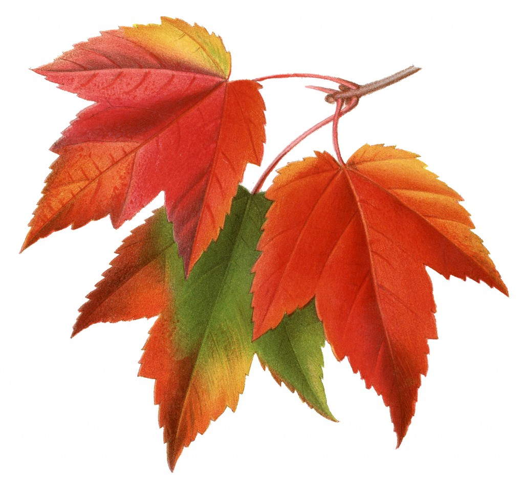 Vintage Printable Maple Leaves