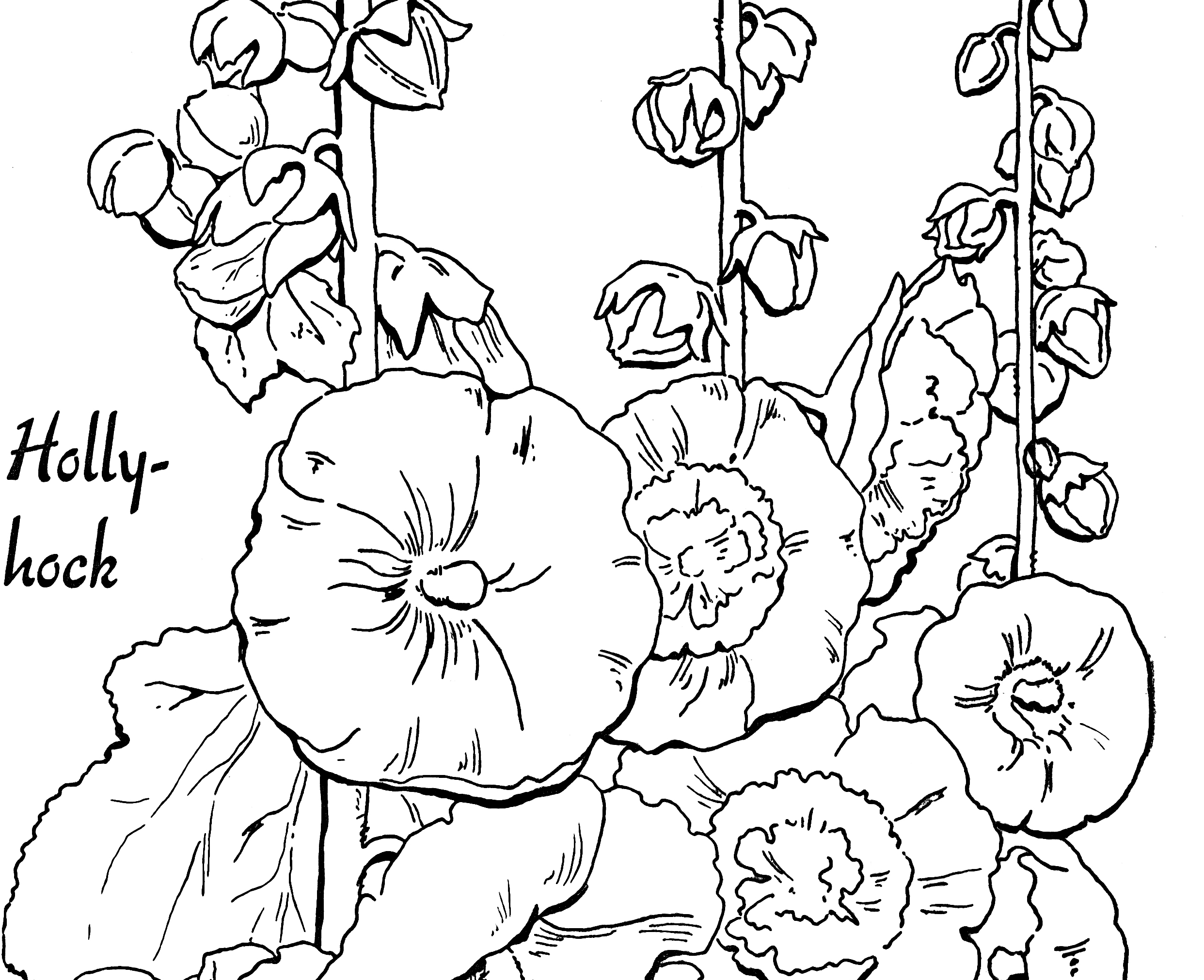 Adult Coloring Page Hollyhocks