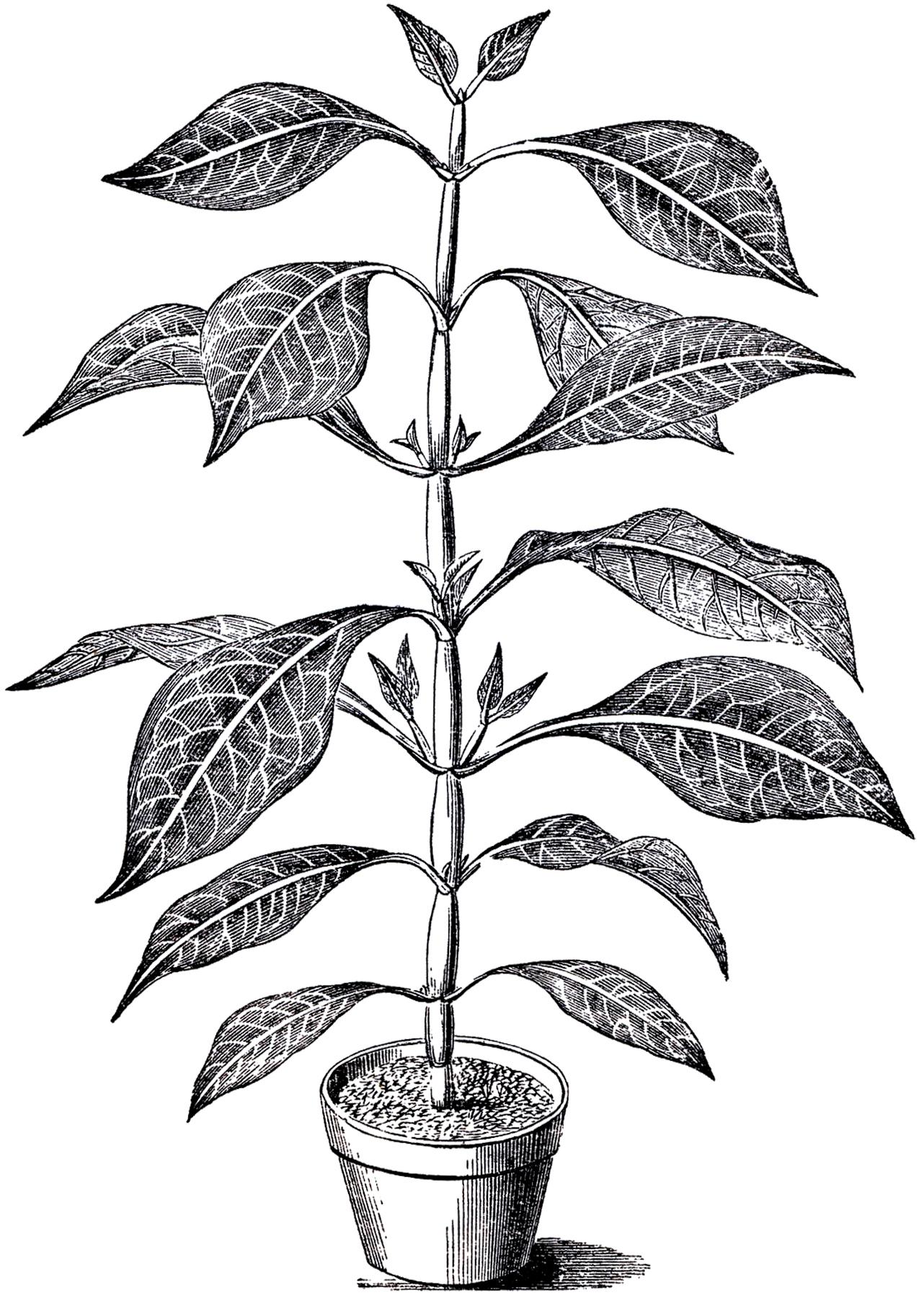 Clipart Plant