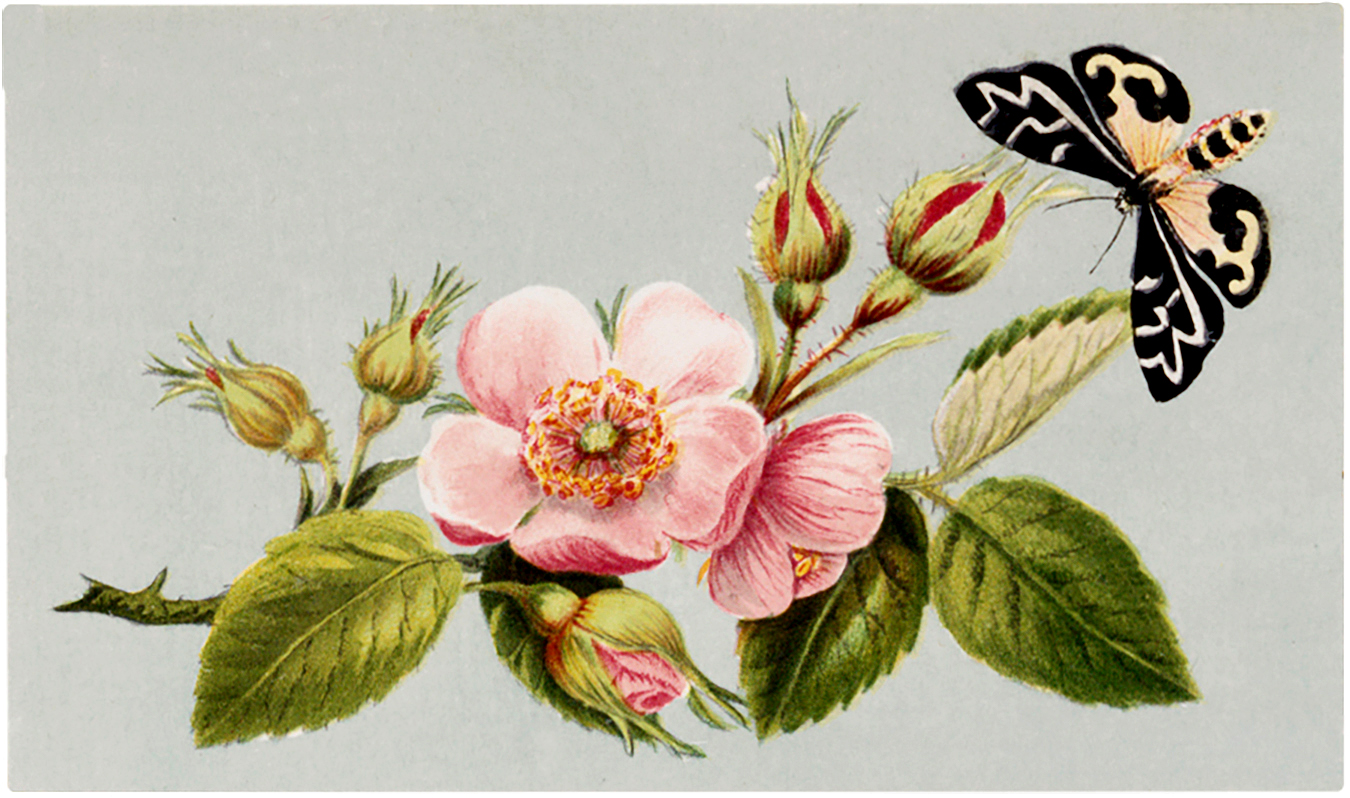 Free Vintage Wild Rose And Moth Image The Graphics Fairy