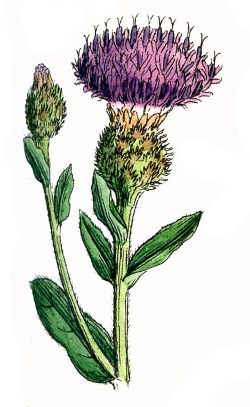 6 Thistle Images - Rustic Flowers! - The Graphics Fairy