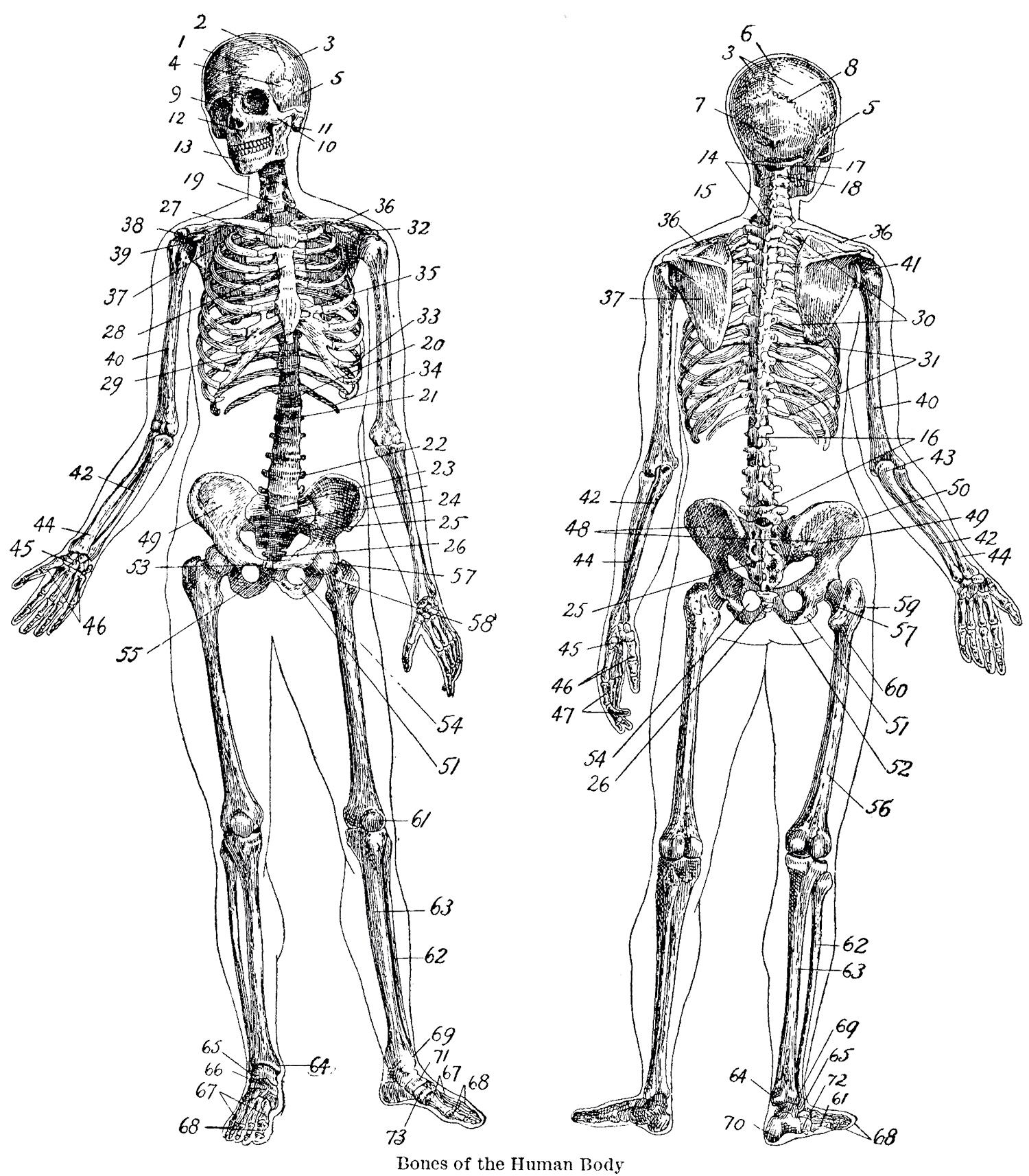 7 Vintage Anatomy Skeleton Images