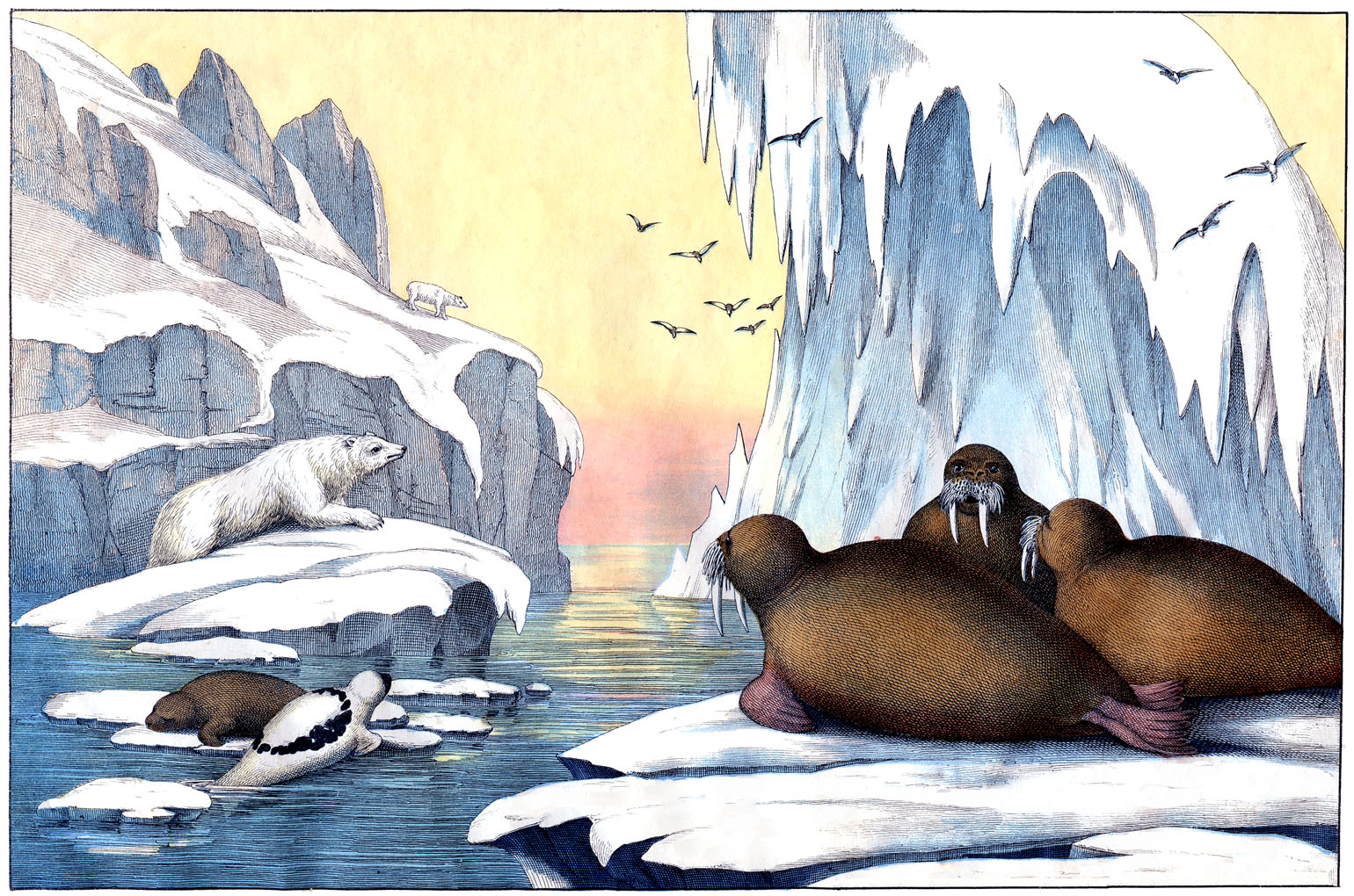 Printable Pictures Of Arctic Animals On Animal Picture Society