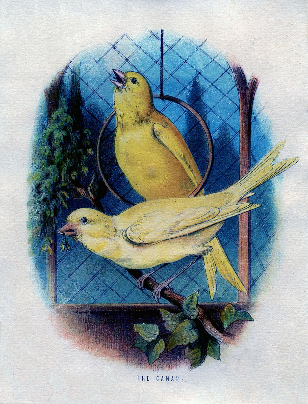 Vintage Graphic 2 Canary Birds In A Cage The Graphics