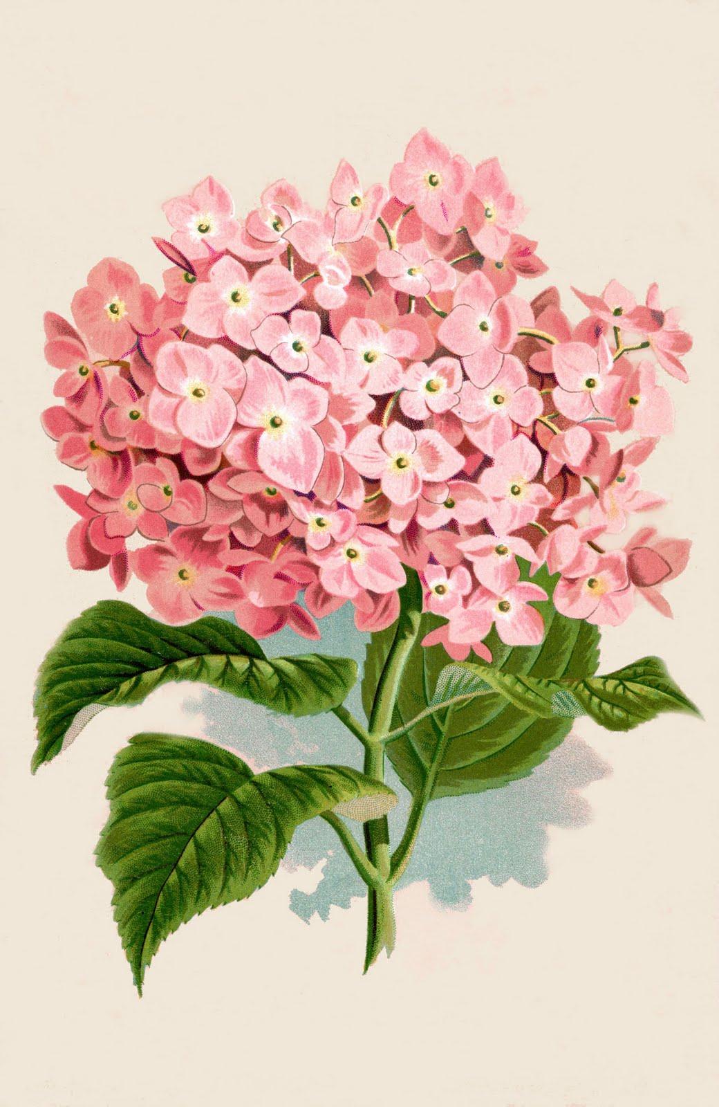 Instant Art Printable Download Hydrangea Botanical Print