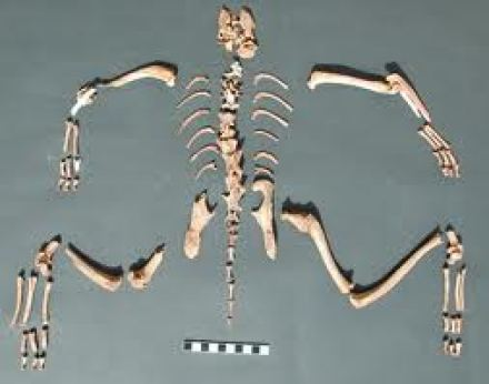 Skeletal remains of Felix Sylvestris at Hierakonpolis, cat domestication