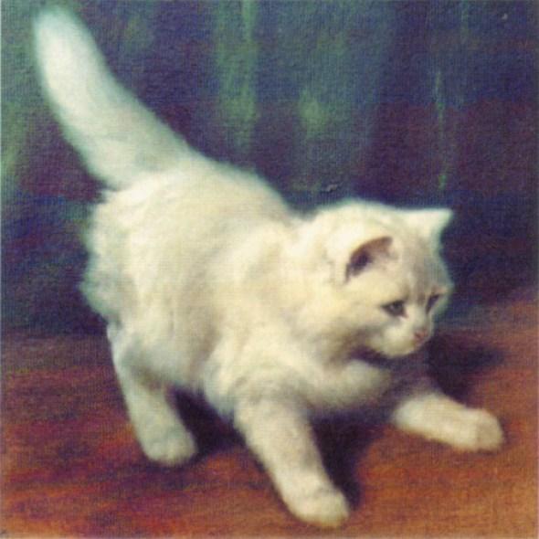 Angora Katze (Angora Cat) Private Collection