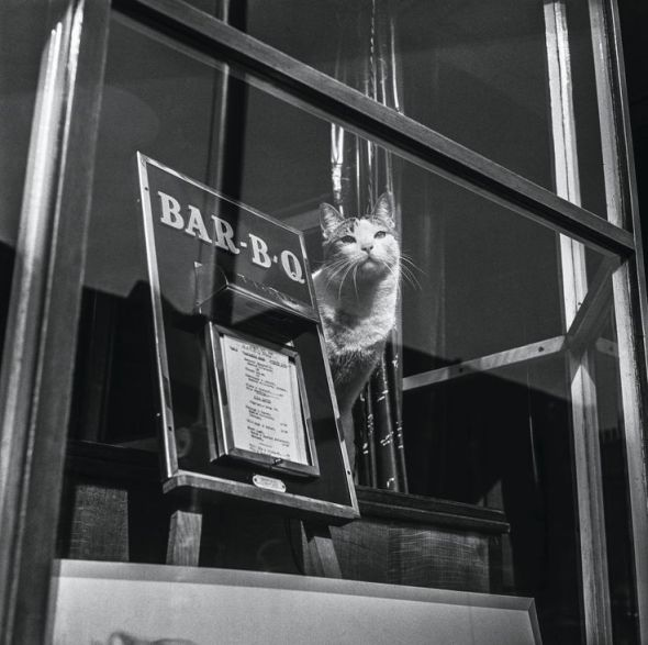 Jane Bown, Cat in a Restaurant Window, Penzance, 1960
