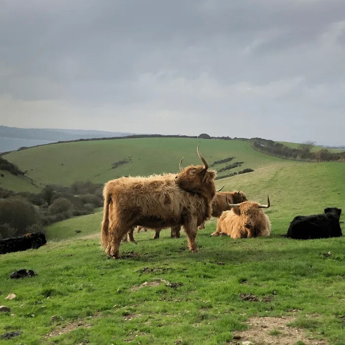 A cow in a field overlooking the sea