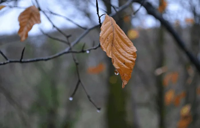 A single gold leaf hanging from a tree