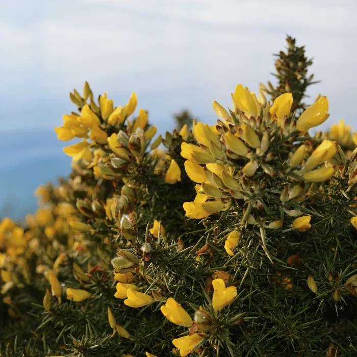 Yellow gorse and hedgerow