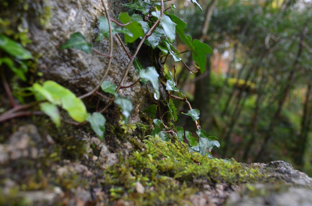 small green leaves coming out of a stone wall in woodland