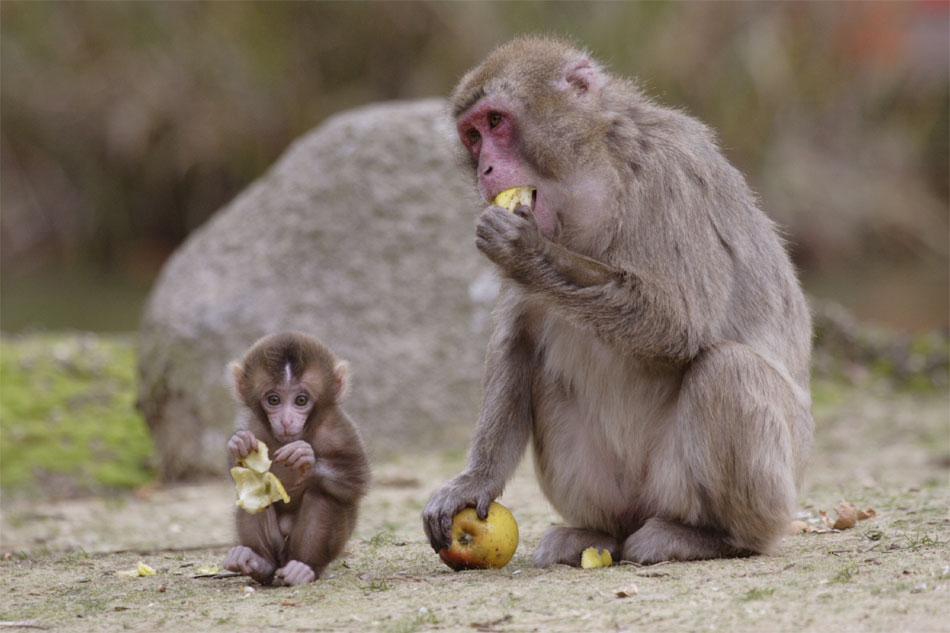 Two members of a Japanese macaque family enjoy an apple