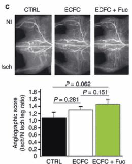 褐藻醣膠-血管新生3