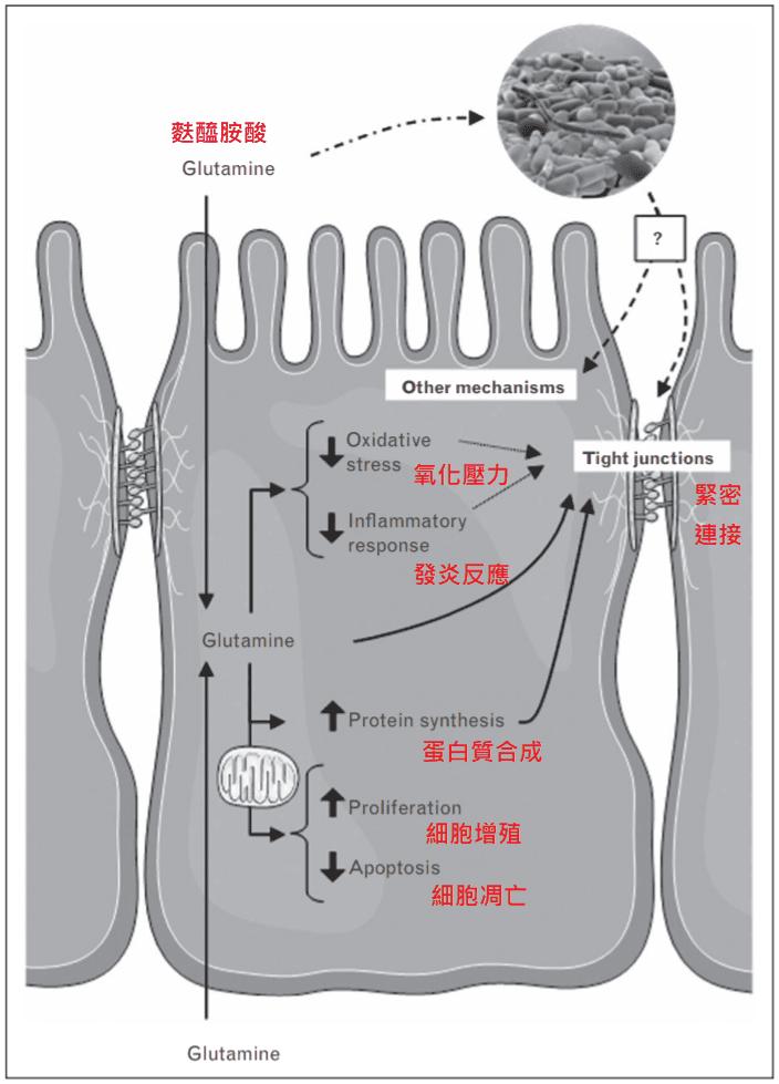 左旋麩醯胺酸 腸道 功能