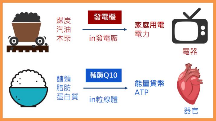 輔酶Q10功效、CoQ10功效