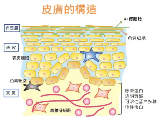 皮膚構造 神經醯胺