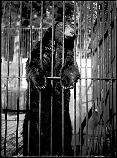 Is the US stock market a caged bear? [By Philip Timms [Public domain], via Wikimedia Commons]