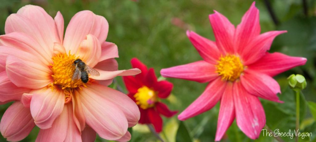 Top 10 Bee Friendly Flowers   The Greedy Vegan Top 10 Bee Friendly Flowers