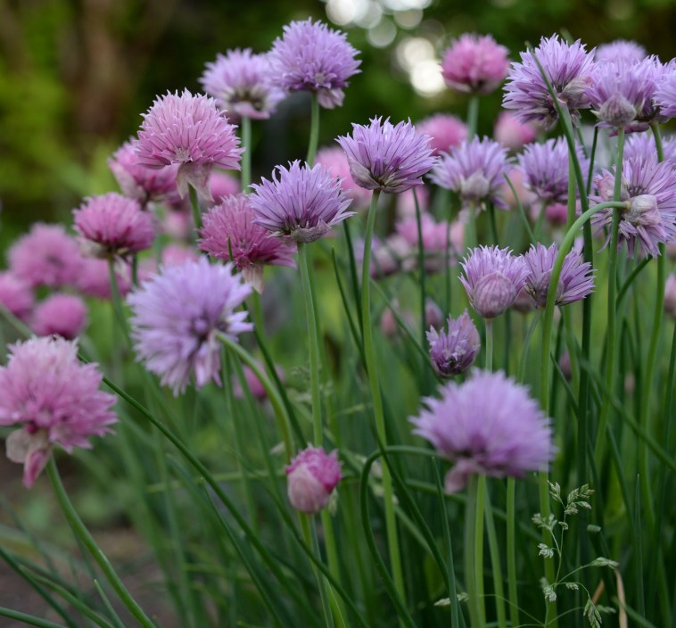 onion or garlic chive grown from seeds