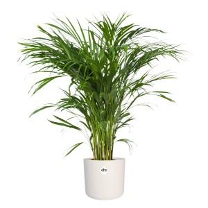 Areca palm in ELHO sierpot (wit)