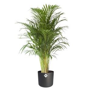 Areca palm (groot) in ELHO sierpot (antraciet)
