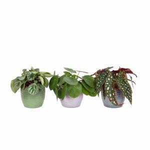 Trio Begonia maculata, Pilea peperomioides en Peperomia Argyreia