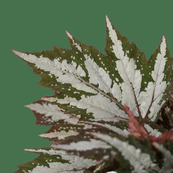 Begonia Maculata en Begonia Sumatra