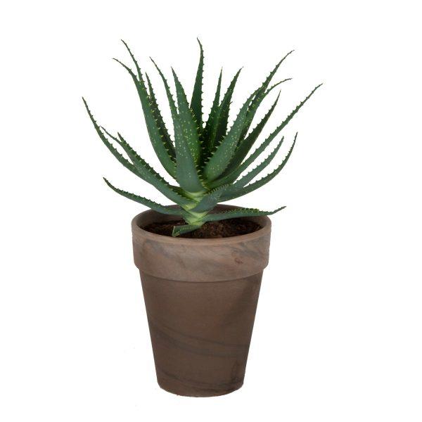 Aloë Arborescens