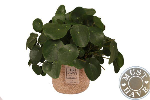 Pannenkoekenplant in jutte mand