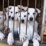 A ONG que está salvando cães que iriam virar comida na Coreia do Sul (e você pode ajudá-la!)