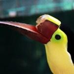 Tucano espancado por jovens ganha bico em 3D e consegue retornar à natureza