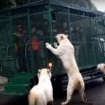 O zoológico na China que enjaula os visitantes e deixa os animais soltos