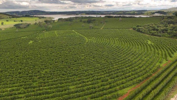 Mais da metade das espécies de café corre risco de extinção
