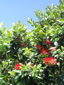 We had a small display of Christmas flowers on our pohutukawa this year.