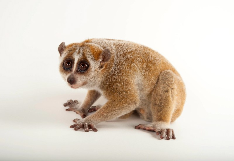 A famous photo, taken by Joel Satore for the Photo Ark, depicts a young Loris wearingly looking at the camera with notably large eyes