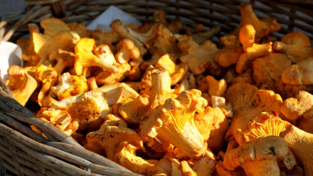 the green walnuts - foraging chanterelles