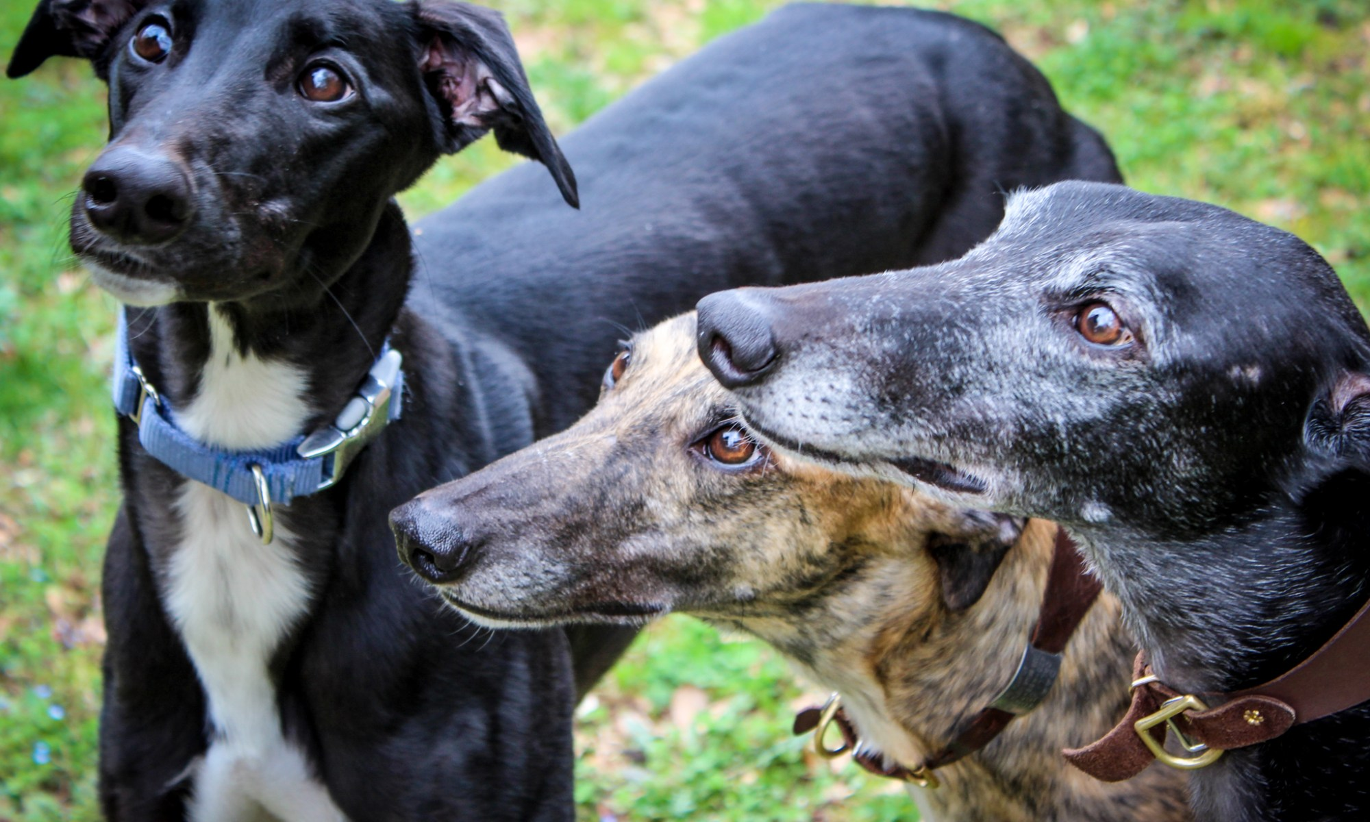 Besides Poopbags, The Other Mostmonly Used Product For The Greyhound  Is A Collar When You Adopt Your Greyhound Most Likely They Will Be  Equipped With