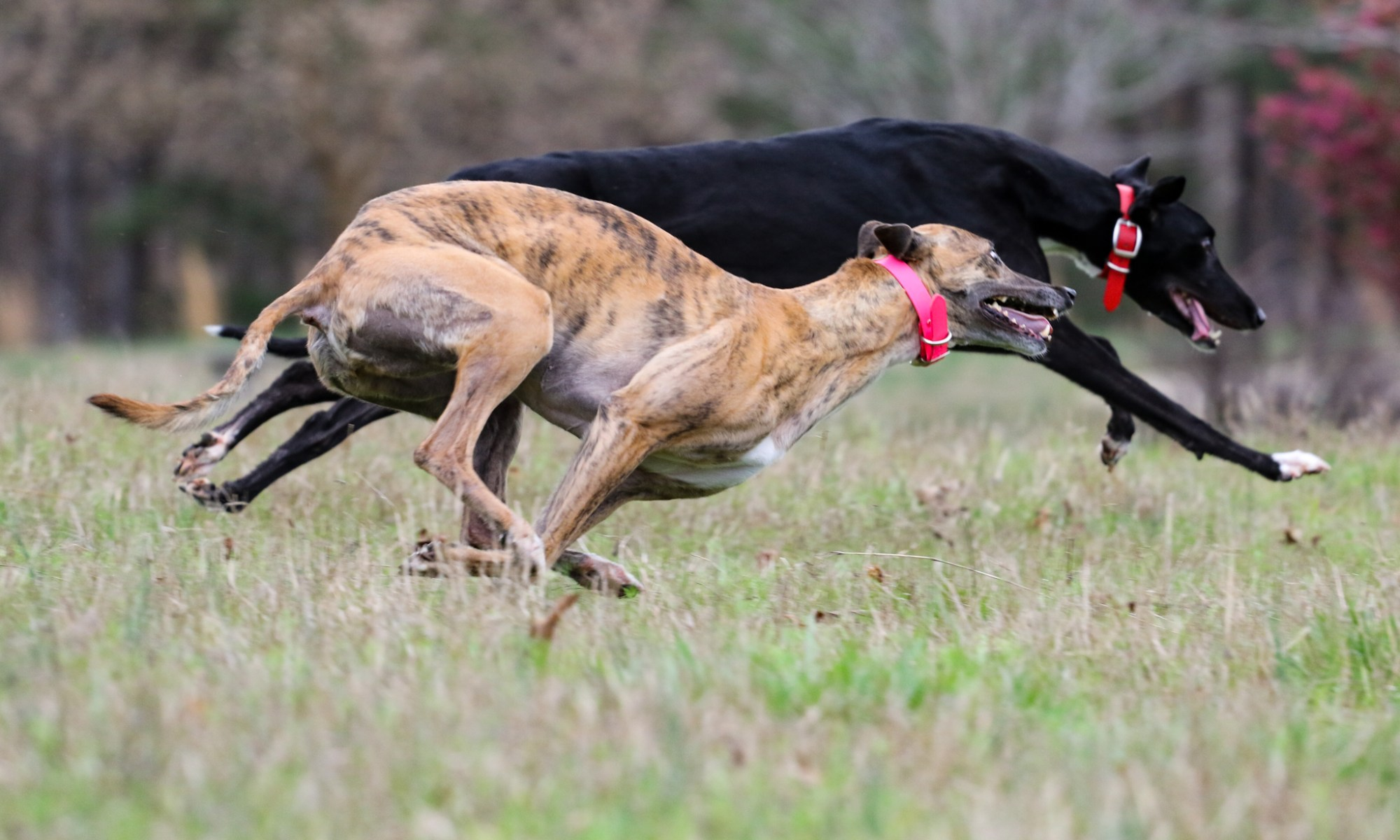Am I The Only Greyhound Owner Who Gets Annoyed When Asked If My Greyhound  Was Rescued? It Really Gets Under My Skin And It Seems To Happen Far Too  Often