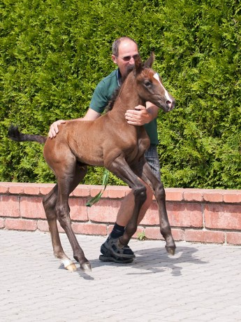 Equine Careers - What are Stud Hands and Stud Hand Jobs - Handling foals