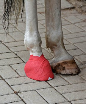 Treating Minor Horse Wounds - poulticing