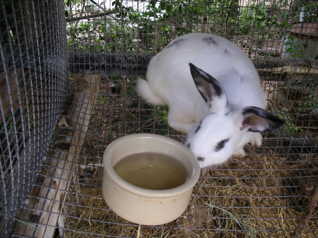 rabbit at waterer