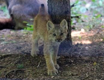 Lynx kittens 15 calendar