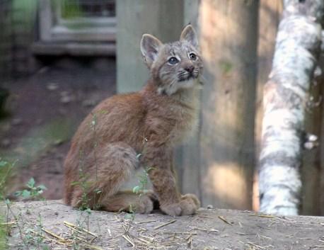 Lynx kittens 17 calendar