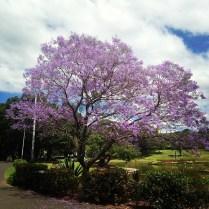 Jacarander Tree