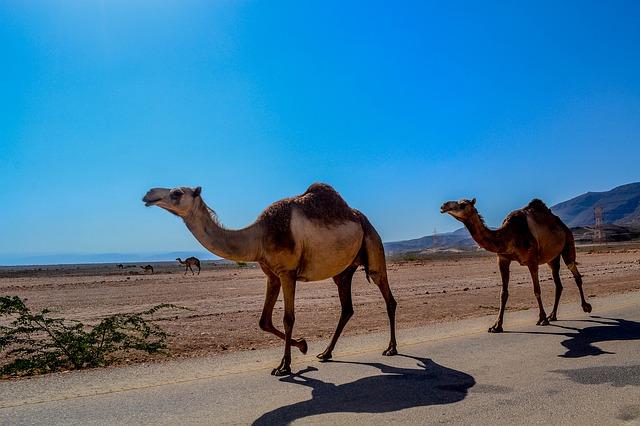 Camels in Salalah Oman