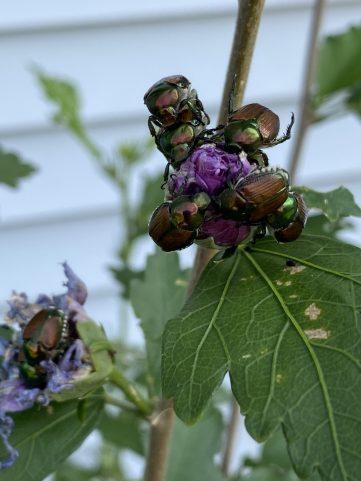 Japanese beetles on a flower